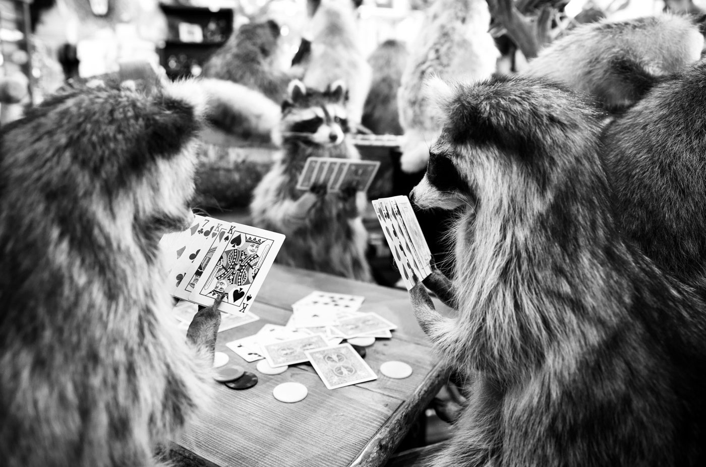Raccoons playing cards, Jackson, Wyoming
