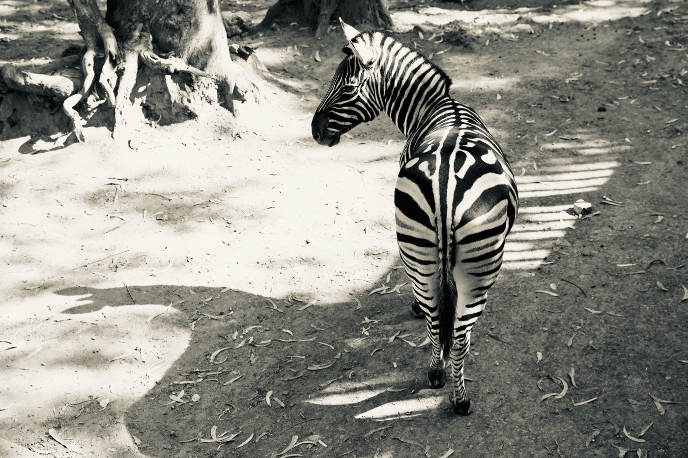 Zebra at the Kunming Zoo