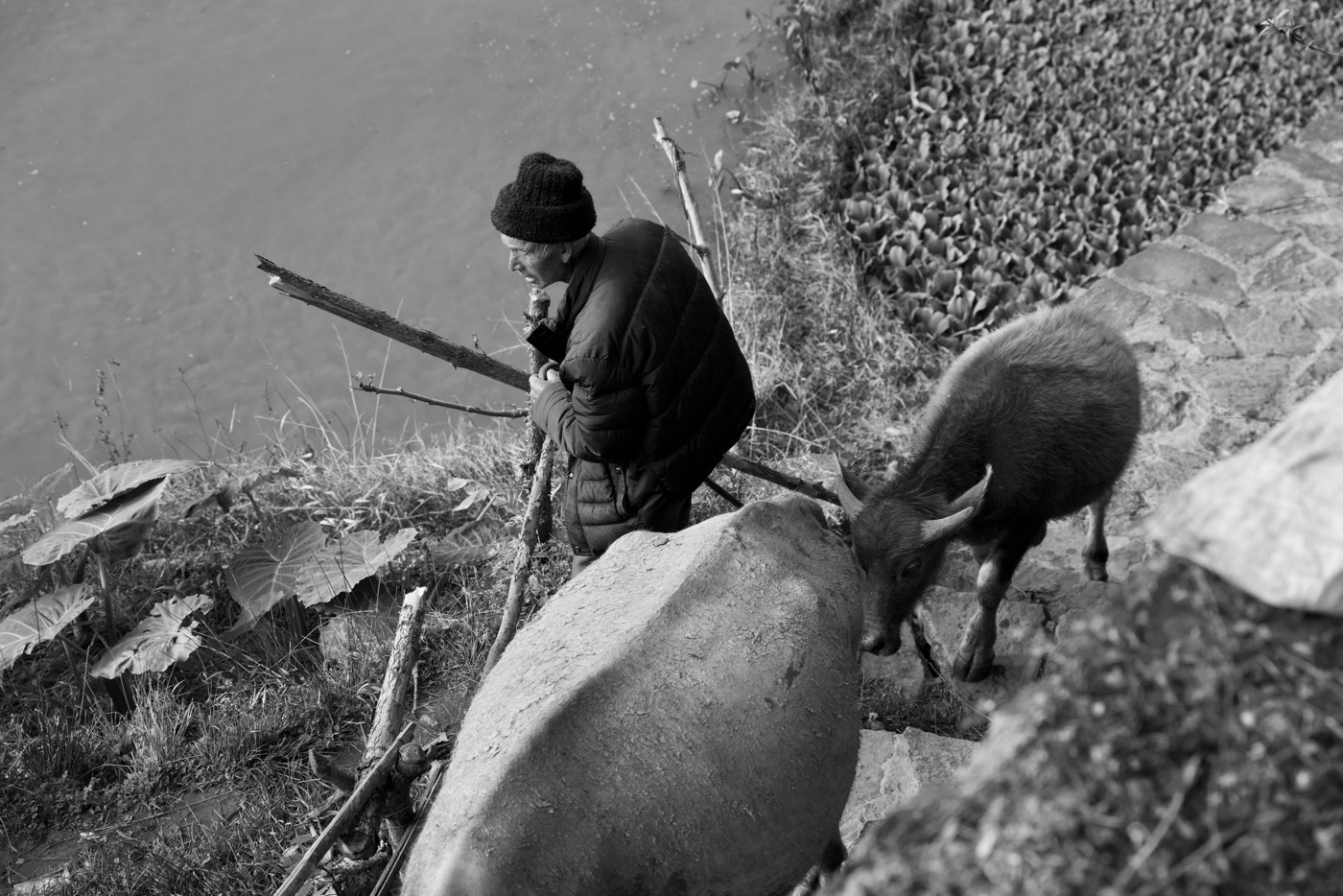 Farmer with water buffalo.  Mushroom village, Yunan, China.